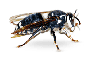 Bald Faced Hornet - Sprague pest