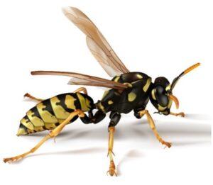Paper Wasp - Sprague Pest