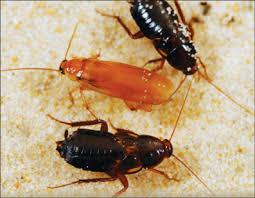 unique environment pests Turkestan cockroach - Sprague Pest Solutions