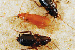 Tackling Turkestan Cockroaches