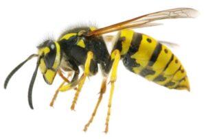Yellowjackets - Sprague pest