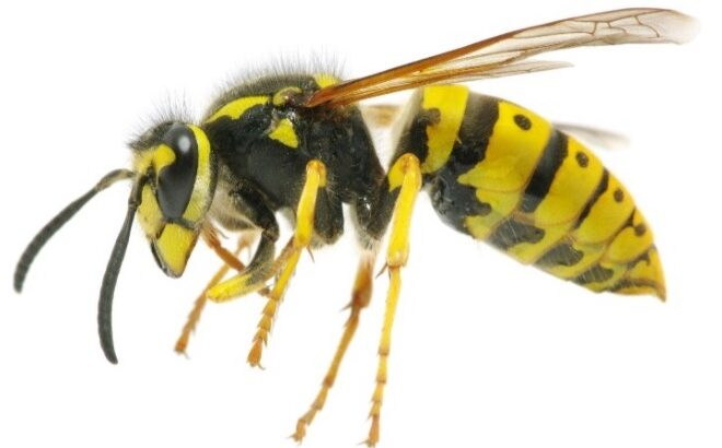Yellowjackets and Stinging Insects: What's the Buzz