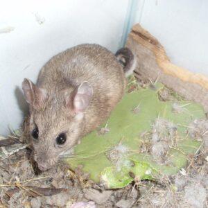 unique environment pests pack rats - Sprague Pest Solutions