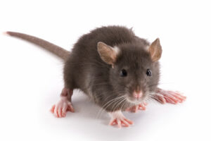 rodents - Sprague Pest Solutions